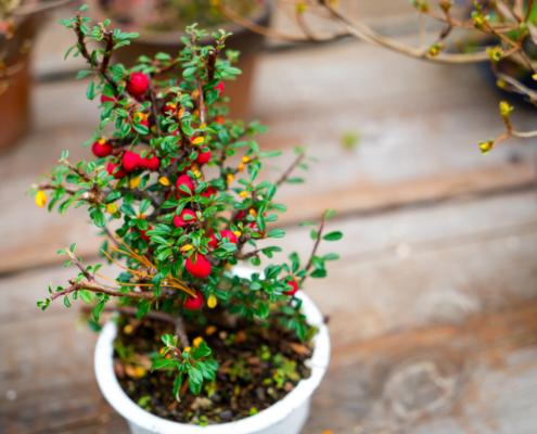 Bonsai Oficina da Terra floricultura